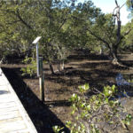 a gentleman enjoying the view of the mangroves from the boardwalk